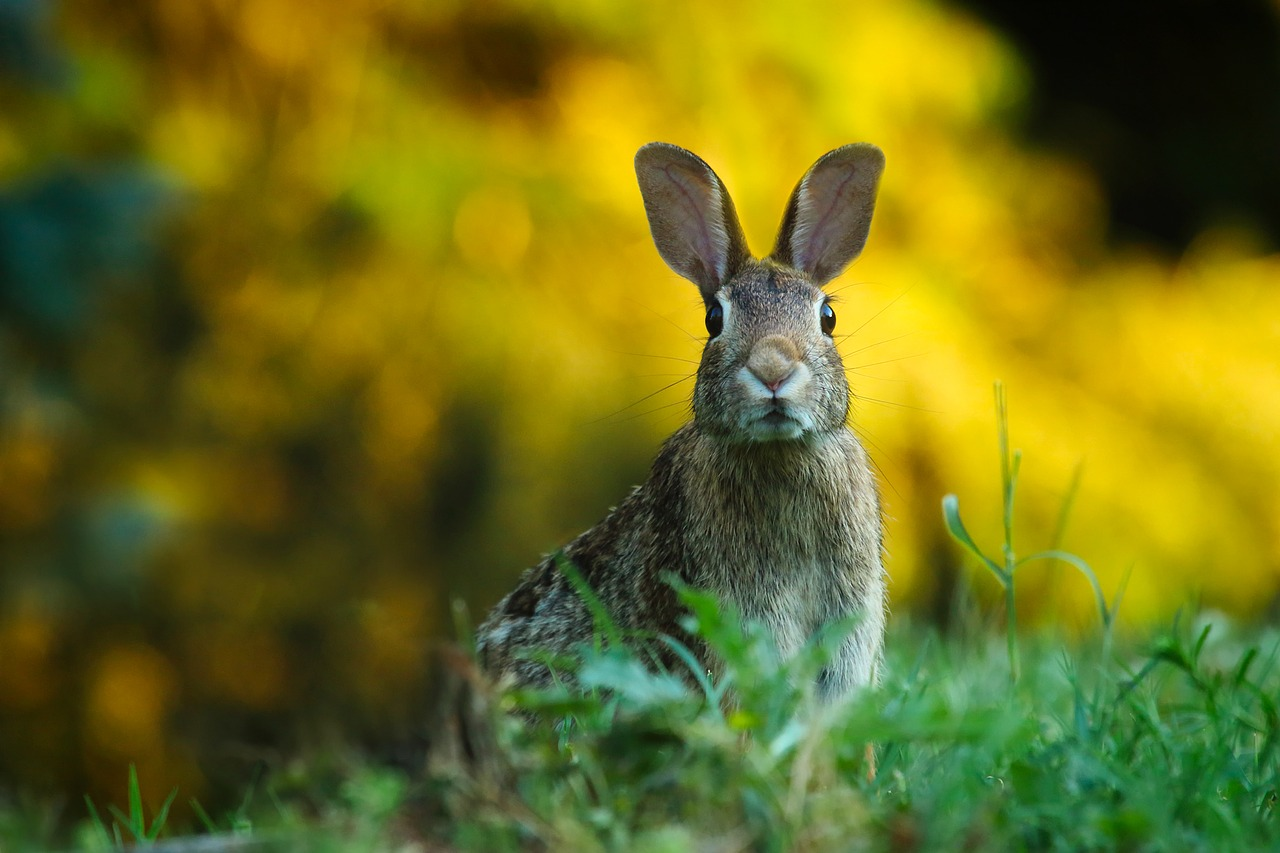Rabbit - Image from Pixabay by David Mark. Thank you. -